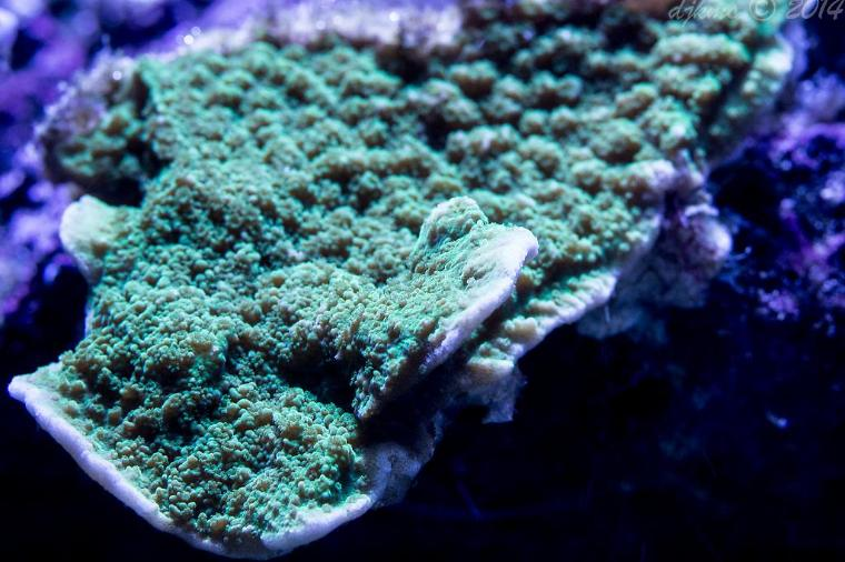 Green Scroll Montipora Thumbnail