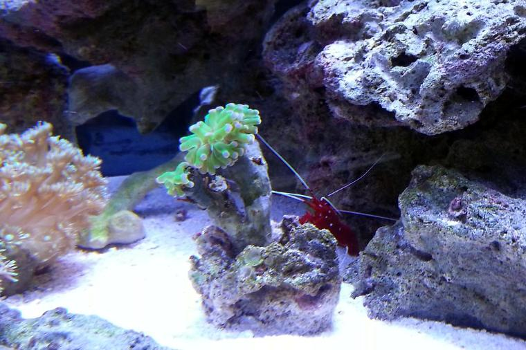 Blood Red Fire Shrimp Thumbnail