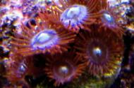 Witches Brew Zoas