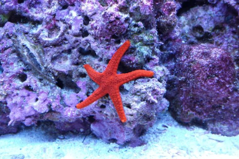 Red Sea Star Thumbnail