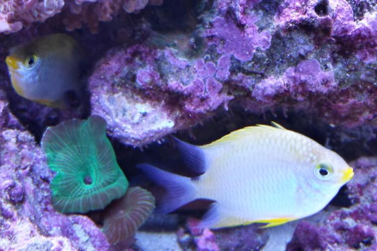 Lemon Chromis Thumbnail