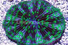 Plate Coral, Short Tentacle