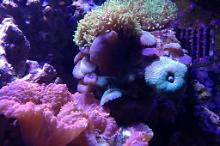 Mushroom coral Green and purple