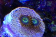 Fruit Loop Zoanthid