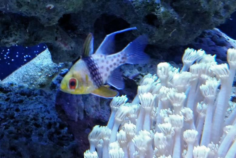Spotted Cardinalfish
