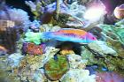 Orange Back Wrasse Thumbnail