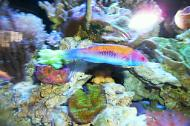 Orange Back Wrasse