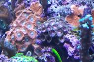 Zoanthid Purple/Pink eye