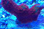 Forest Fire Branched Montipora Coral Thumbnail