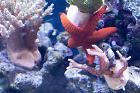 Indian Sea Star Red Thumbnail