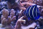 Blueface Angelfish Thumbnail