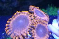 Zoanthid/Red/purple center