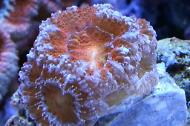 Acan Brain Coral/Red-Green-Blue