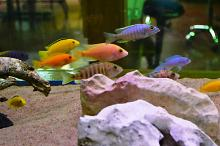 Tank 4- African cichlid tank for CLE Thumbnail