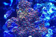 Assorted Zoas Colony